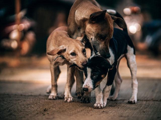 Tre hundar i en hundflock